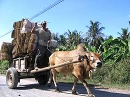 Bò đeo gông kéo xe