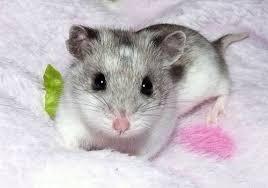 Chú chuột nhắt