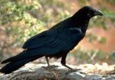 Chú quạ đen